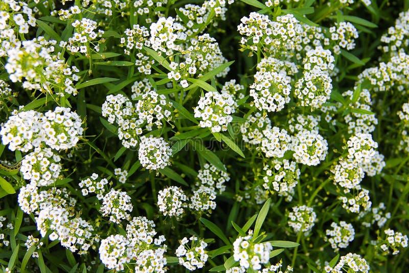 Carpet of small white fragrant flowers alissum stock image download carpet of small white fragrant flowers alissum stock image image of shrub mightylinksfo