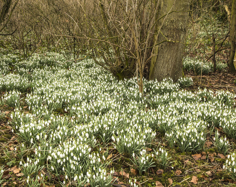 A carpet of snowdrops in early Spring royalty free stock photos