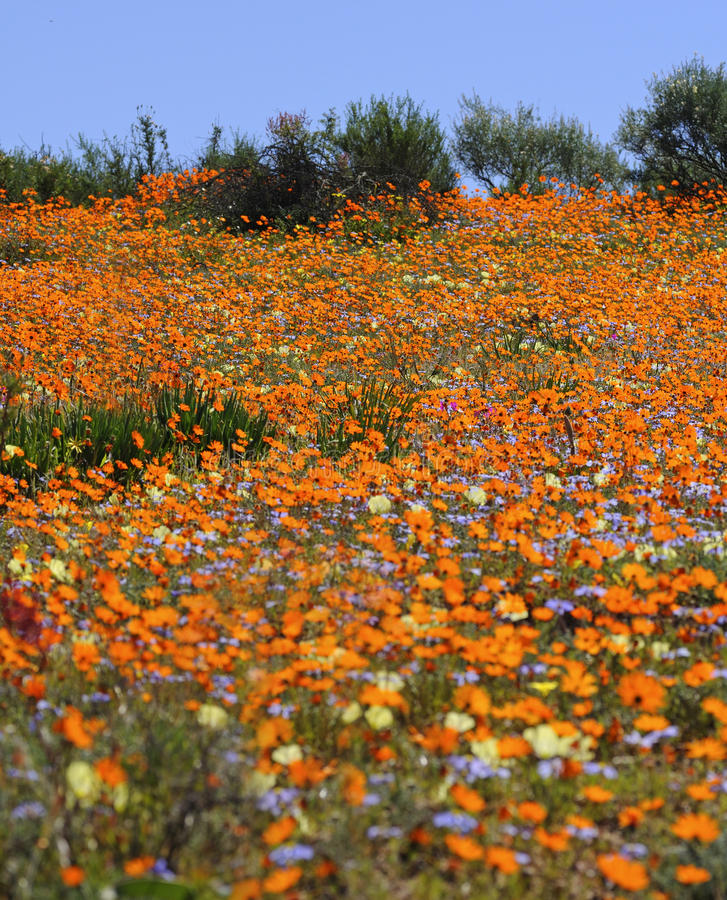 Download Carpet of spring flowers stock image. Image of daisy - 12348251