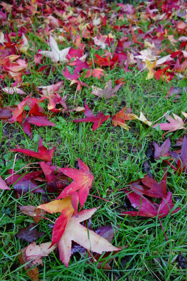 Carpet of Sweet Gum Leaves. Carpet of yellow and red leaves of sweet gum tree (liquidambar styraciflua) in autumn / fall stock images