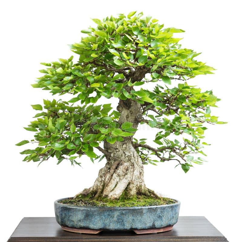 Carpino di corean come albero dei bonsai fotografia stock for Bonsai prezzi