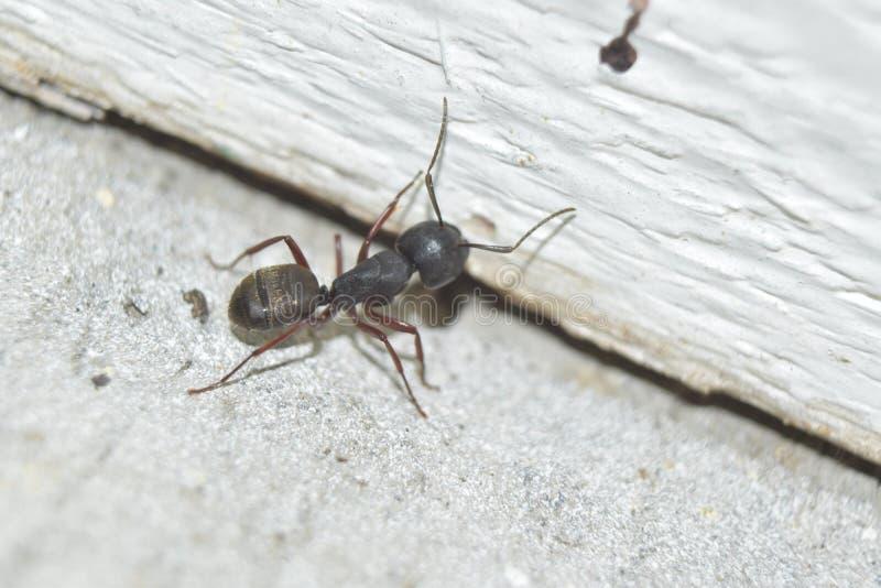 Carpinteiro Ant foto de stock