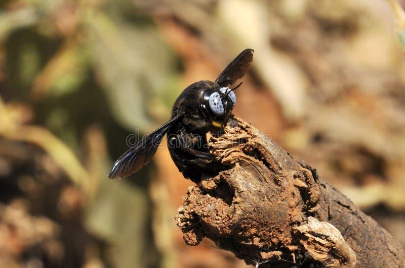 Carpintero Bee fotografía de archivo
