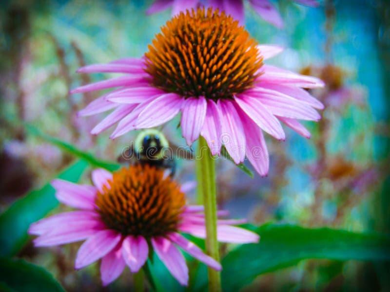 Carpintero Bee de la flor fotografía de archivo