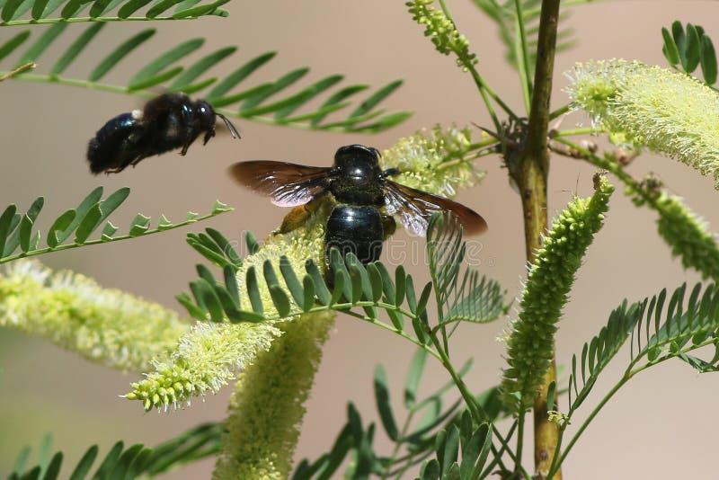 Carpintero Bees de Sonoran en las flores del acacia imagen de archivo libre de regalías