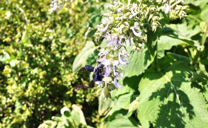 Carpintero púrpura del abejorro- Especie de solas abejas del Apidae de la familia Detalles y primer fotografía de archivo