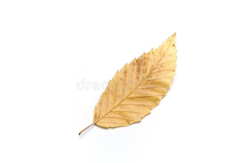 Carpinus Betulus被隔绝的叶子  库存照片