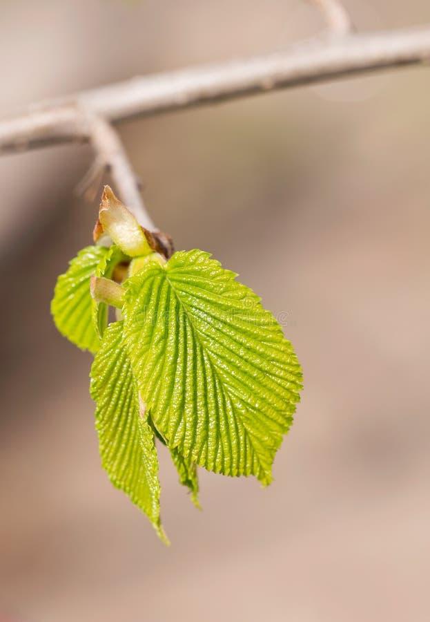Carpinus Betulus sidor royaltyfria foton