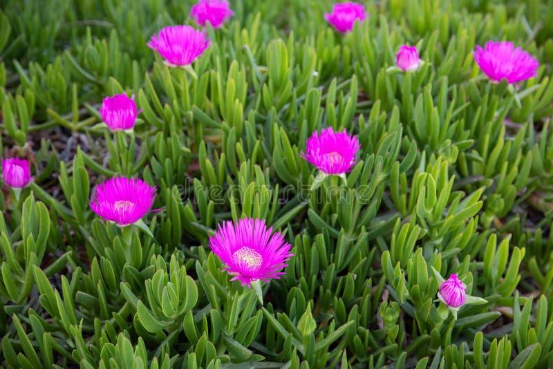Carpobrotus acinaciformis tłustoszowata roślina znać błonia imienia figi dennym kwitnieniem w Kiparissi Lakonias, Peloponnese, Gr obrazy royalty free