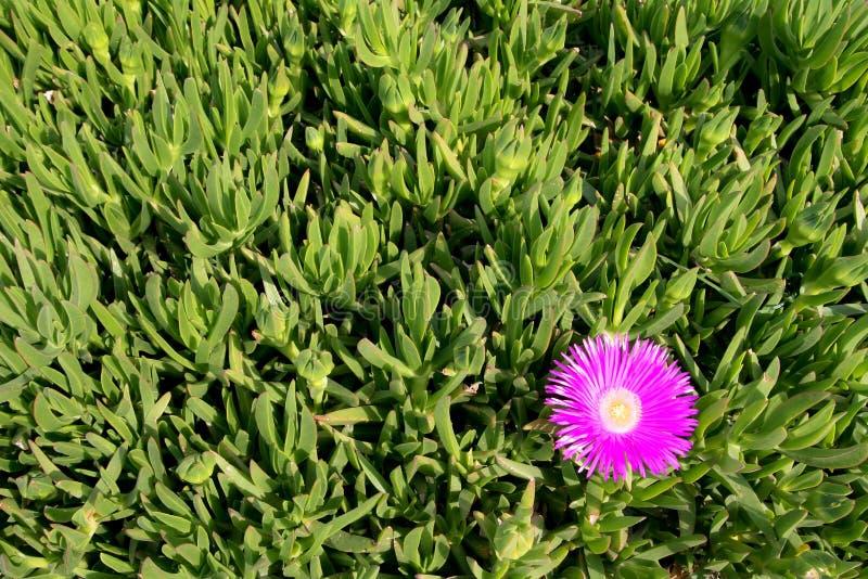Download Carpobrotus edulis zdjęcie stock. Obraz złożonej z wildflower - 28960310