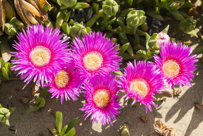 Plants and flowers of Hottentot fig on sand beach in Italy. Carpobrotus edulis is a ground-creeping plant with succulent leaves, native to South Africa. Also stock images