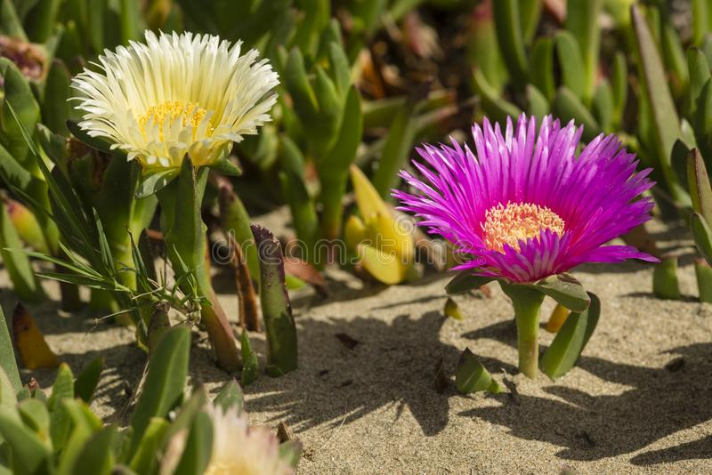 Plants and flowers of Hottentot fig on sand beach in Italy. Carpobrotus edulis is a ground-creeping plant with succulent leaves, native to South Africa. Also stock image