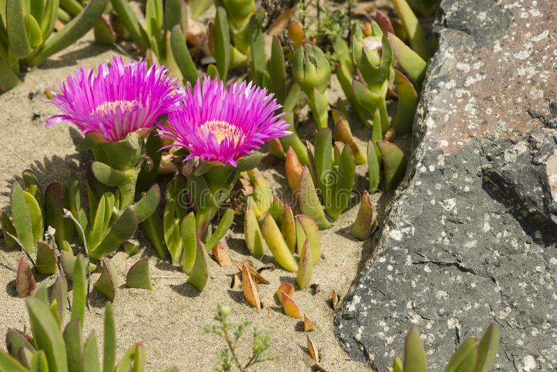 Plants and flowers of Hottentot fig on sand beach in Italy. Carpobrotus edulis is a ground-creeping plant with succulent leaves, native to South Africa. Also royalty free stock image