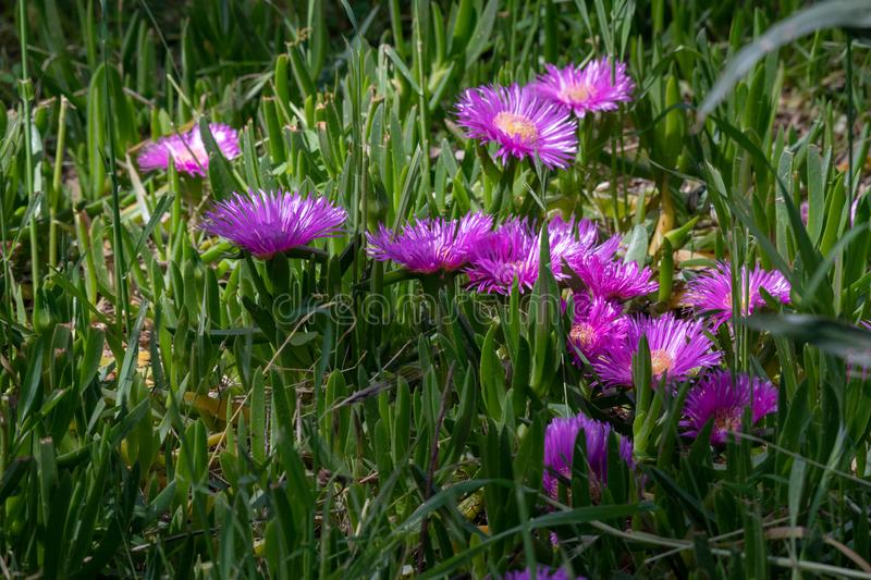 Carpobrotus edulis is a ground-creeping plant with succulent leaves, native to South Africa. Beautiful pink and yellow flower named Carpobrotus edulis also known royalty free stock image