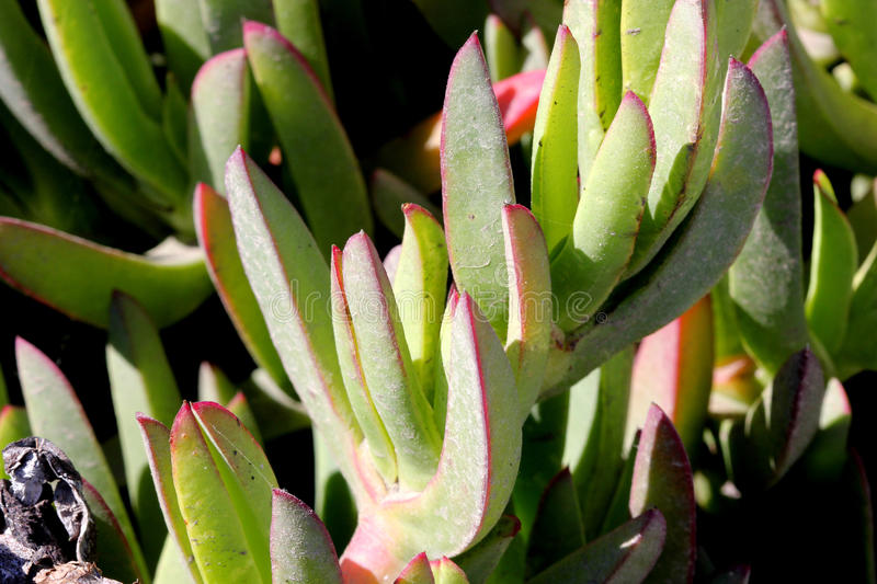 Carpobrotus edulis, Hottentot-fig, Highway ice plant. Seaside plant with 3-angled succulent leaves and pink flowers on long stalk royalty free stock image
