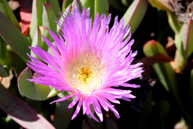 Carpobrotus edulis, Hottentot-fig, Highway ice plant. Seaside plant with 3-angled succulent leaves and pink flowers on long stalk royalty free stock photos