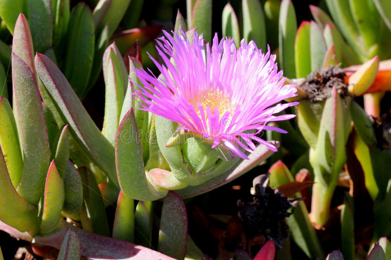 Carpobrotus edulis, Hottentot-fig, Highway ice plant. Seaside plant with 3-angled succulent leaves and pink flowers on long stalk stock photo