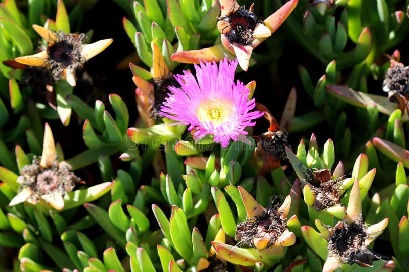 Carpobrotus edulis, Hottentot-fig, Highway ice plant. Seaside plant with 3-angled succulent leaves and pink flowers on long stalk stock photography