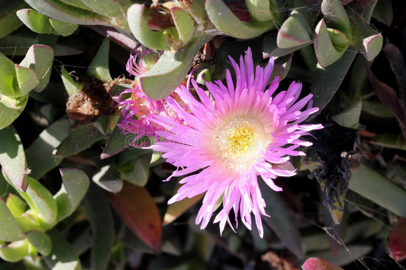 Carpobrotus edulis, Hottentot-fig, Highway ice plant. Seaside plant with 3-angled succulent leaves and pink flowers on long stalk stock images