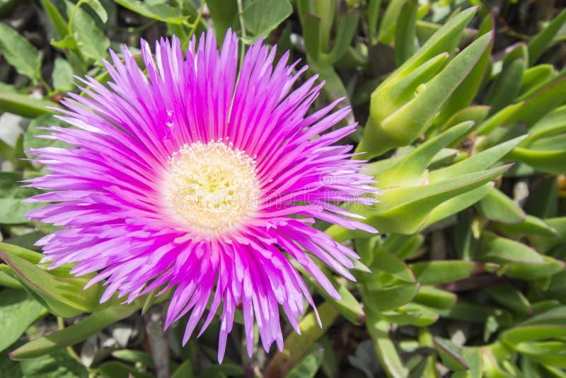Carpobrotus edulis (Hottentot-fig, ice plant, highway ice plant. Or pigface), colorfull stock photo