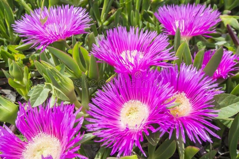 Carpobrotus edulis (Hottentot-fig, ice plant, highway ice plant. Or pigface), colorfull royalty free stock image