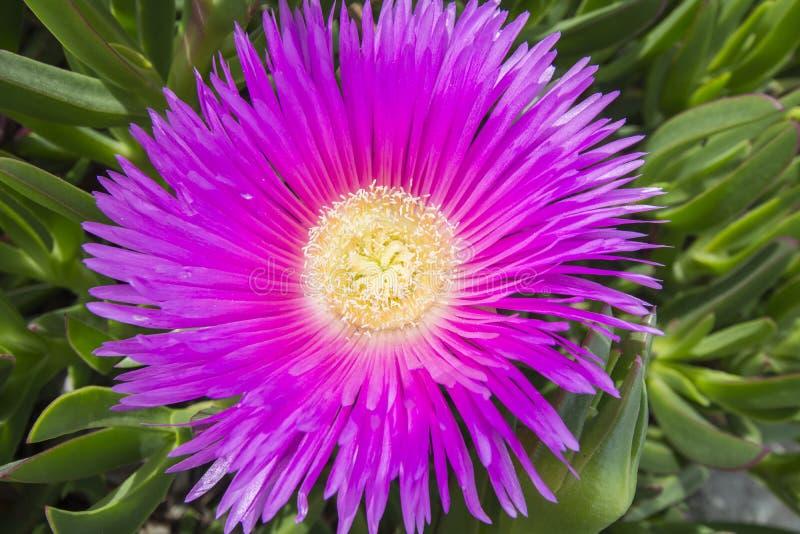 Carpobrotus edulis (Hottentot-fig, ice plant, highway ice plant. Or pigface), sunny day royalty free stock photos