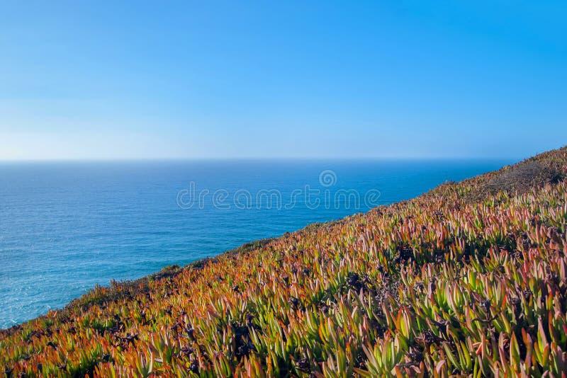 Carpobrotus edulis Hottentot Fig on the Ocean, Cabo Da Roca, Sintra, Portugal.  royalty free stock photos