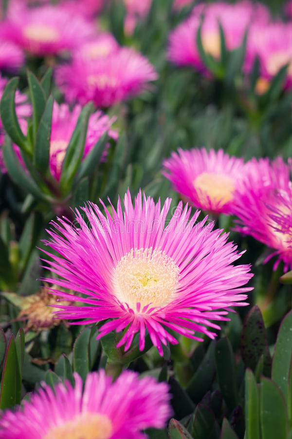 Carpobrotus edulis - Ice plant royalty free stock image