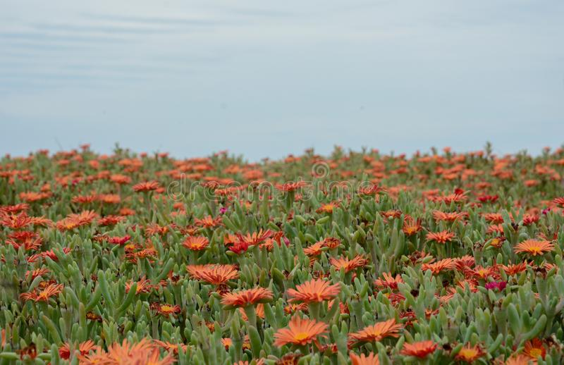 Field of Ice Plant royalty free stock image