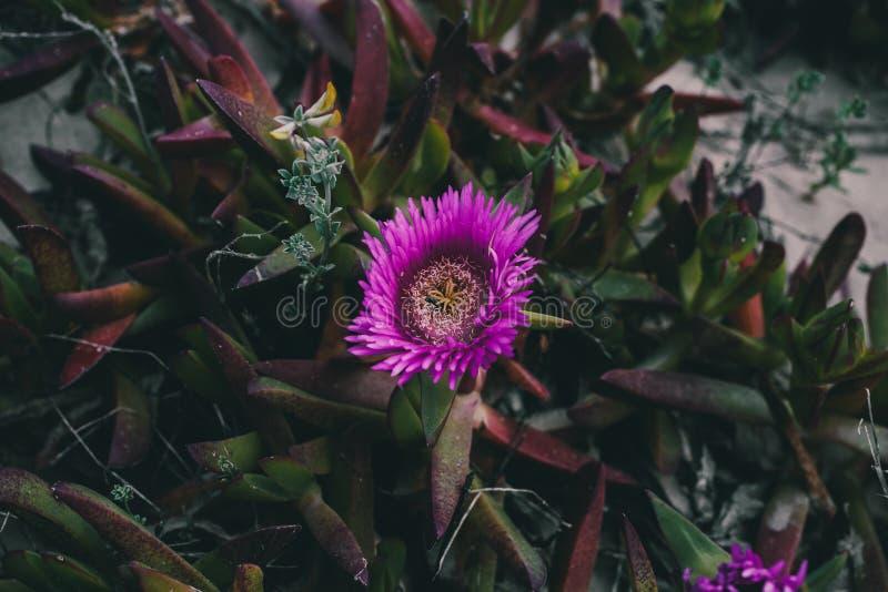 Carpobrotus edulis purple flower. Closeup view of wild green succulent background. Wild pink flowers at the beach. royalty free stock photos