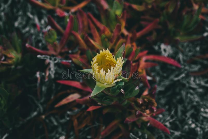 Carpobrotus edulis Yellow flower. Closeup view of wild green succulent with yellow beautiful flower. stock image