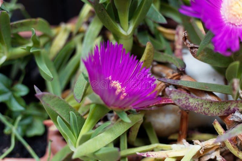 Carpobrotus iceplant cor-de-rosa edulis fotos de stock royalty free