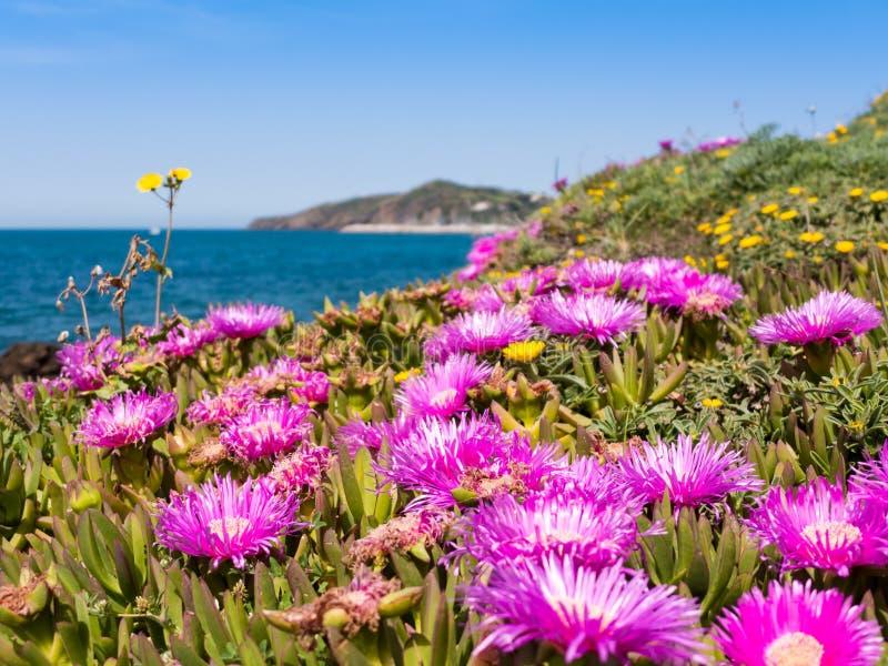 Carpobrotus kwitnie blisko morza w Piombino, Tuscany, Włochy zdjęcie royalty free