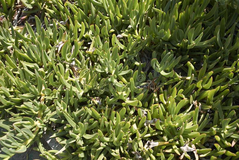 Carpobrotus tłustoszowata roślina fotografia stock