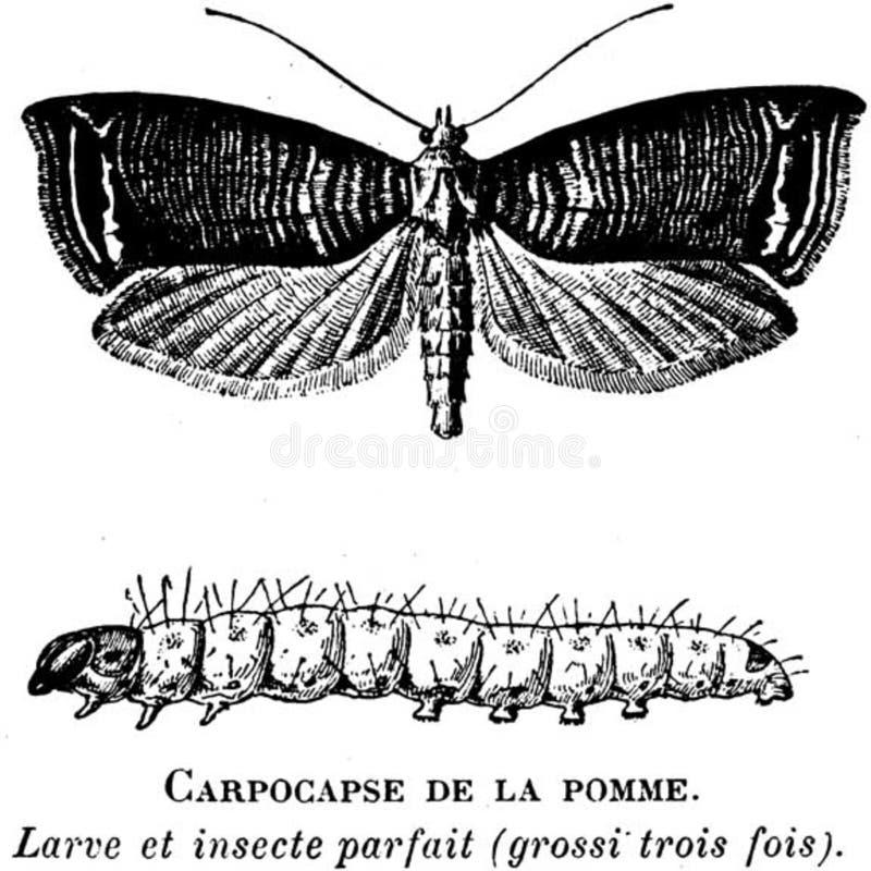 Carpocapse-oa Free Public Domain Cc0 Image
