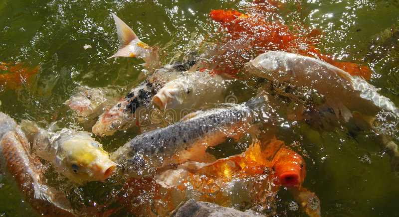 Carps. In the water of little lake of a zen garden royalty free stock photo