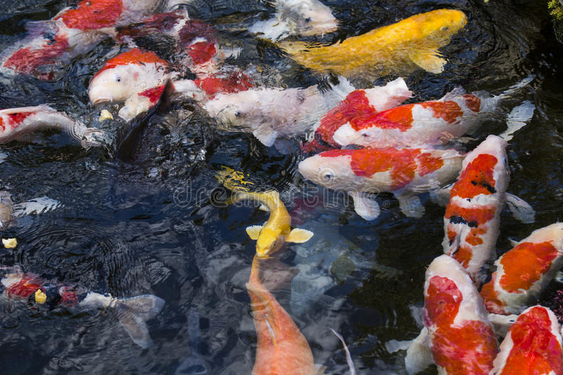 Carps fish. With the detail royalty free stock images