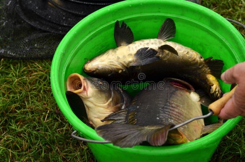 Carps. Fisherman sells a live  (Cyprinus carpio) as a traditional polish Christmas Eve meal, Poland stock photography
