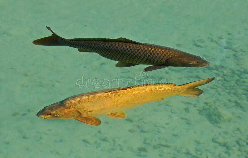 Carps fishes couple royalty free stock images