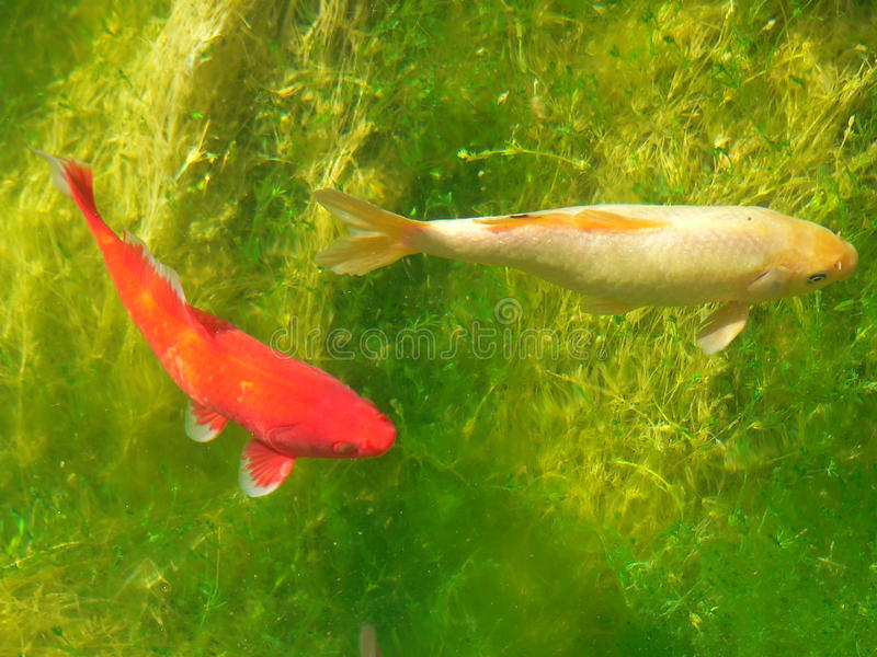 Carps on green. Carps in the water of a pond royalty free stock photography