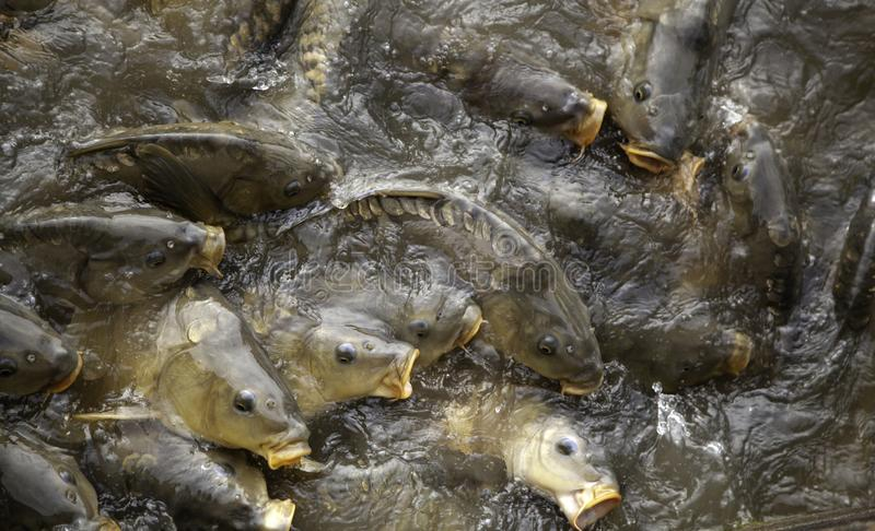 Carps in river. Marine animals, fish, free nature, underwater, freshwater, carpio, lake, pond, food, wild, big, common, cyprinus, wildlife, fishing, background royalty free stock image