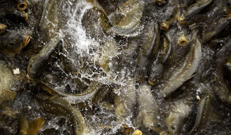 Carps in river. Marine animals, fish, free nature, underwater, freshwater, carpio, lake, pond, food, wild, big, common, cyprinus, wildlife, fishing, background stock photo