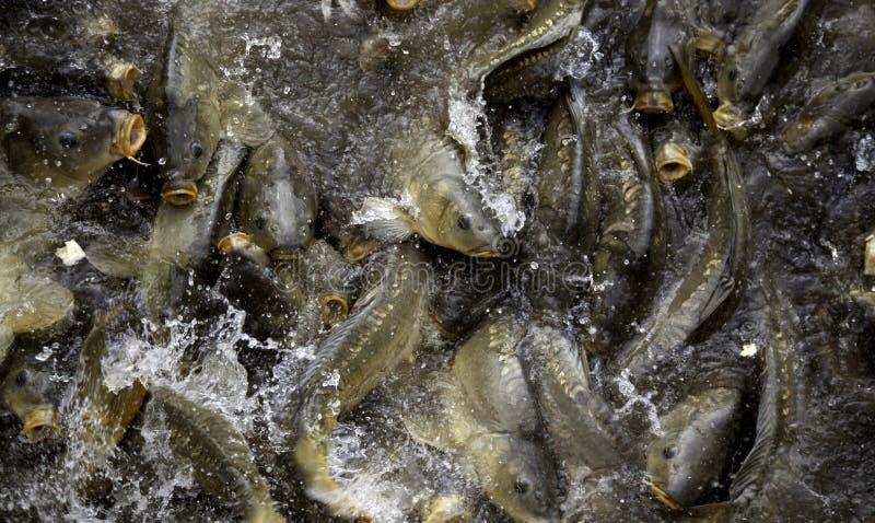 Carps in river. Marine animals, fish, free nature, underwater, freshwater, carpio, lake, pond, food, wild, big, common, cyprinus, wildlife, fishing, background royalty free stock photos