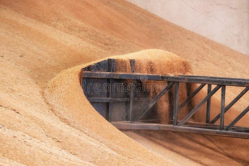Carregador da roda que trabalha no armazém do trigo da grão Ind?stria da agricultura imagem de stock royalty free