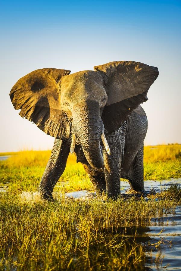 Carregamento do elefante foto de stock
