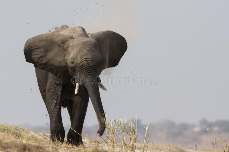 Carregamento grande do elefante de touro fotografia de stock royalty free