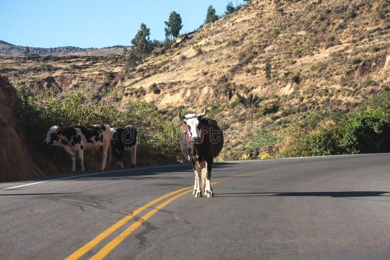 Carreggiata con il bestiame negli altopiani fotografie stock libere da diritti