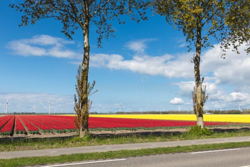 Carretera nacional holandesa con los campos del tulipán y las turbinas de viento coloridos fotografía de archivo