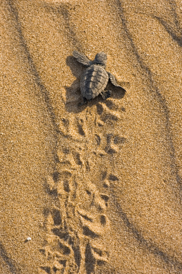 carretta żółw kłótni caretta zdjęcia stock
