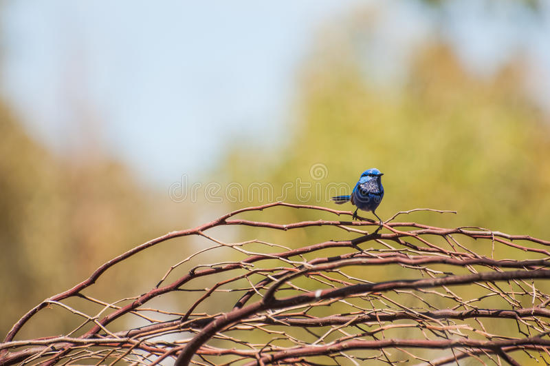 Carriça azul feericamente esplêndida fotografia de stock